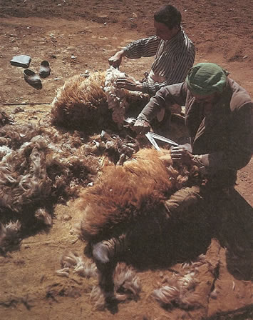 Shearing Sheep For Making Rugs by Nazmiyal