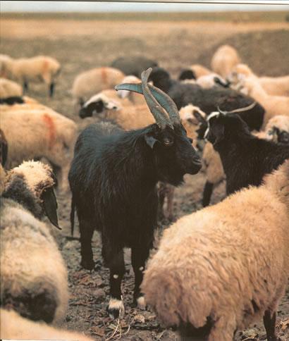 Raising sheep for their wool by Nazmiyal