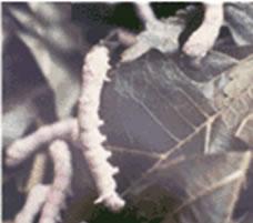 Silkworms by Nazmiyal