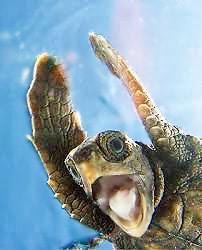 Loggerhead Turtle At Hilton Head Island Nazmiyal