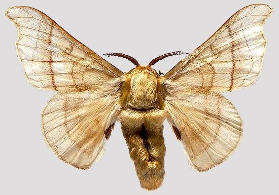 The Mulberry Silk Moth by Nazmiyal
