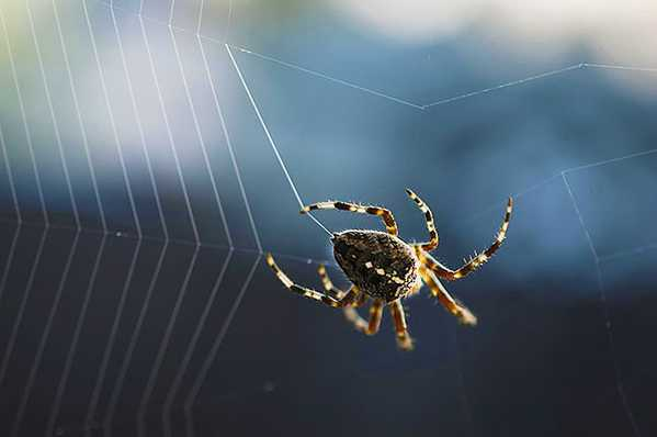 Spider Weaving His Silk Web by Nazmiyal