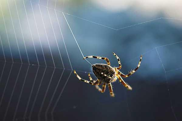 Spider Weaving His Silk Web by Nazmiyal