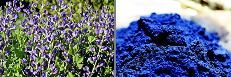 Indigofera Tinctoria flower and Indigo Color Dye by Nazmiyal