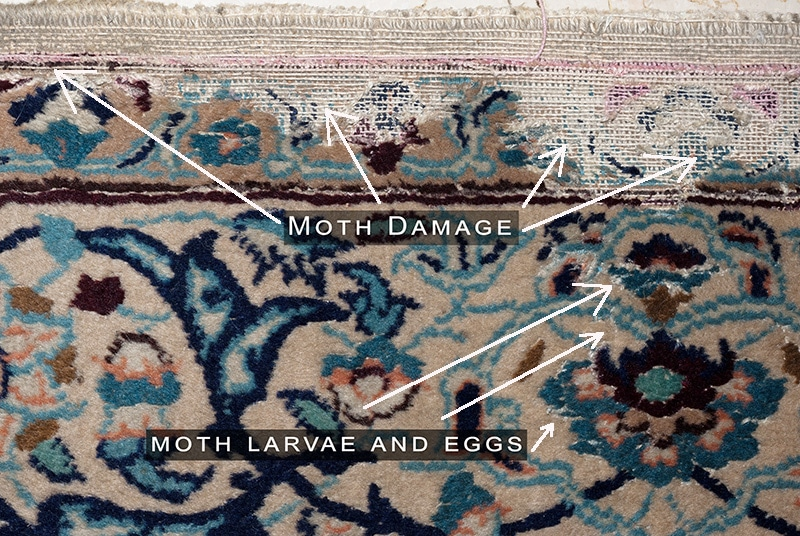 Moth Damaged Rug With Live Larvae and Eggs